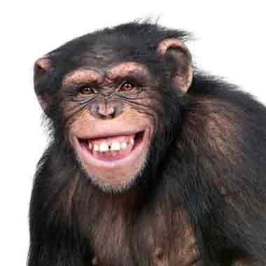Chimp smiling