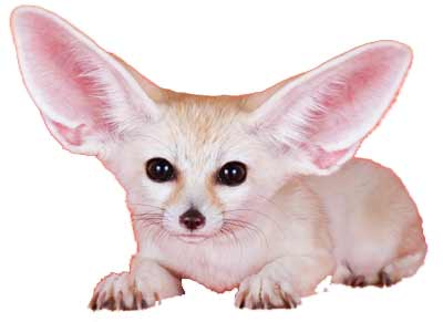 Fennec fox staring at camera
