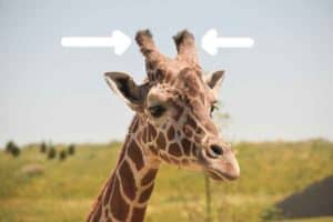 giraffe horns are called ossicones