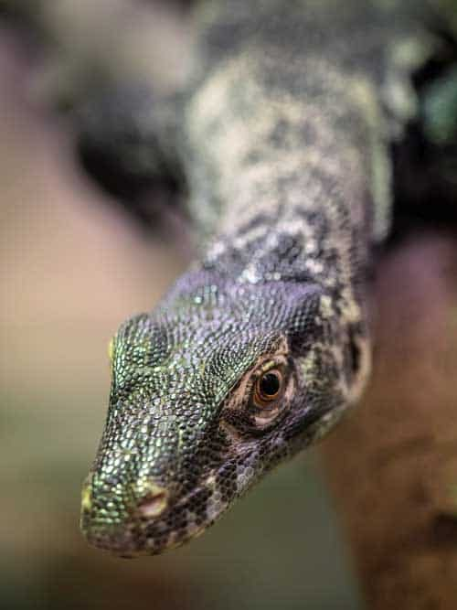 komodo baby head