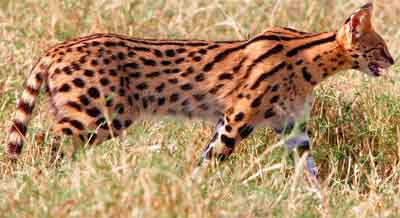 Serval cat in the grass