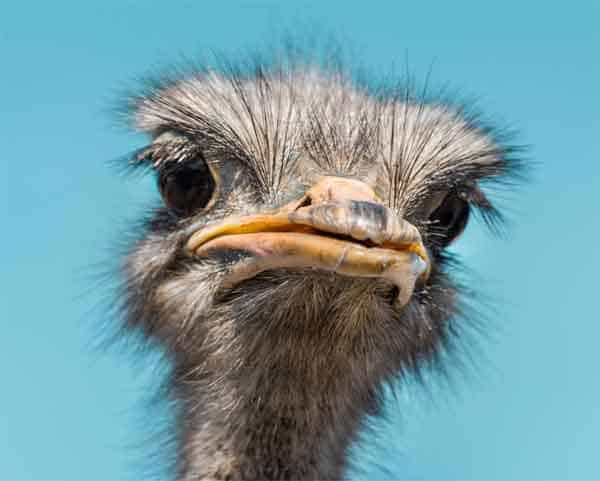 Ostriches looking straight at the camera