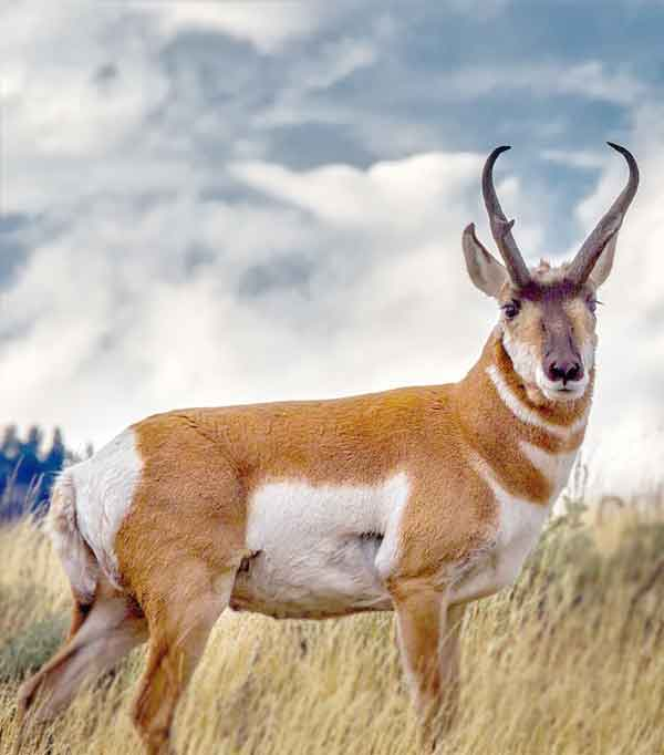 Pronghorns live in the semi-deserts