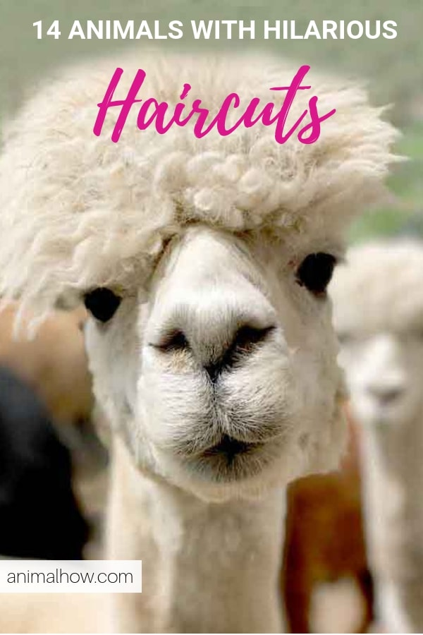 Alpaca with amazing curly hair