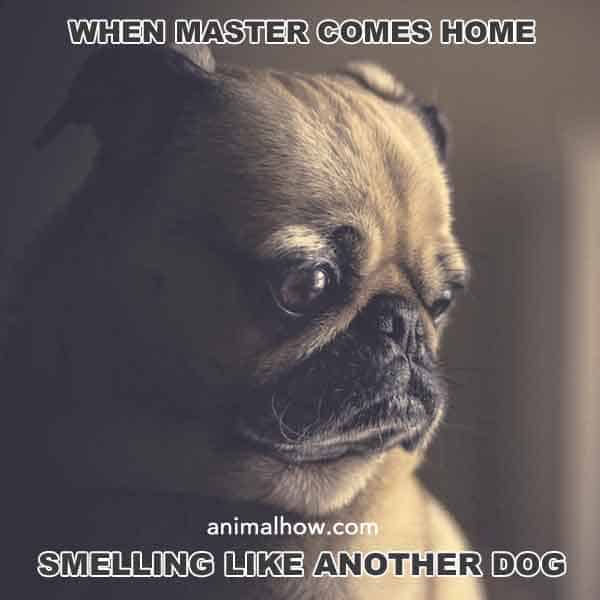When master comes home smelling like another dog