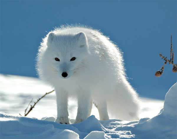 Arctic Fox with white fur blending in with the white snow