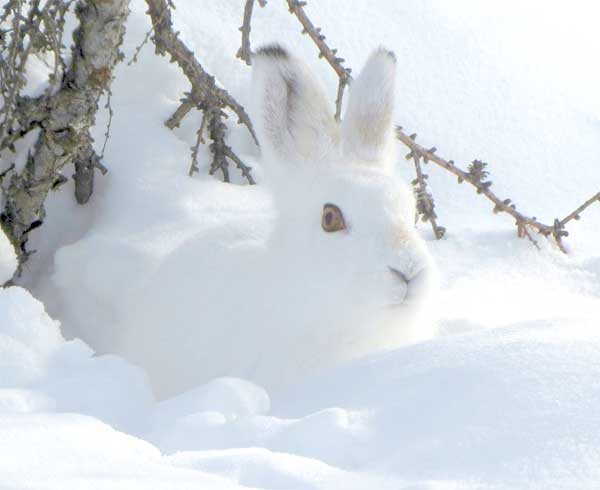 Arctic hare camouflaging itself completely in the white snow