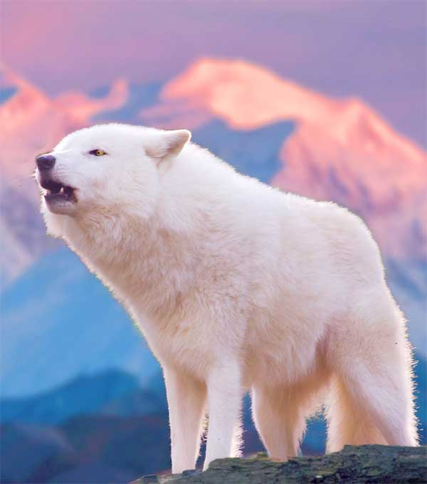 White Arctic Wolf hauling at the sky in the Arctic tundra