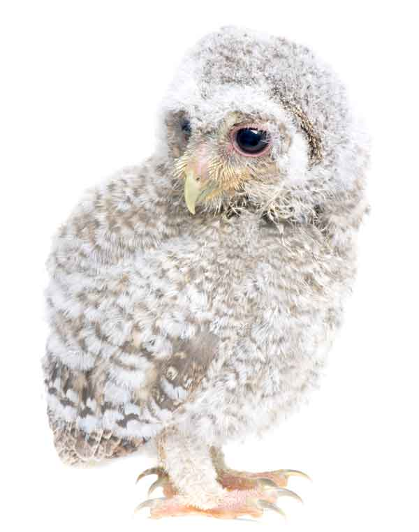 Tiny cute baby owl with black eyes