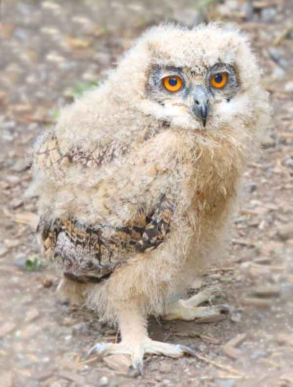 Baby Owl with very furry feathers to keep warm