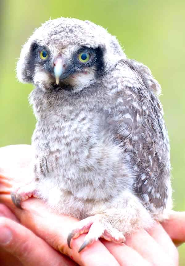 Baby snowy owl from arctic area