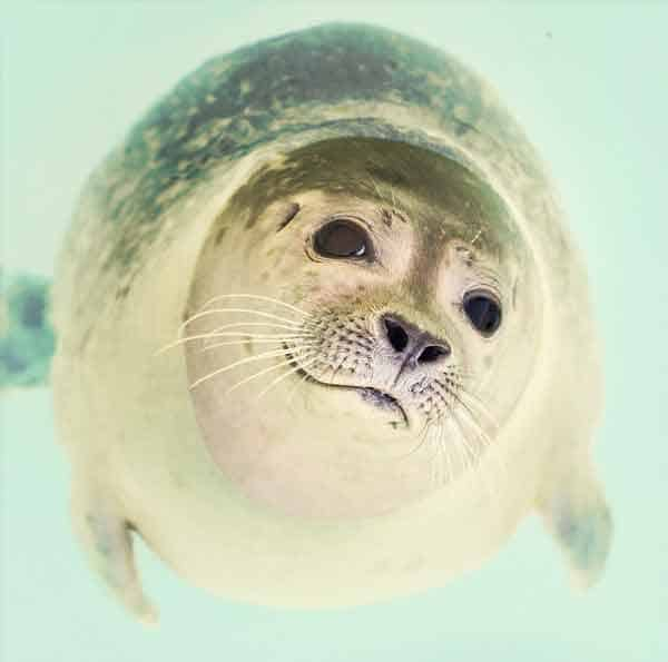 Cute baby seal swimming outside Iceland coast in arctic water