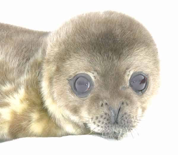 Very cute baby seal from Greenland