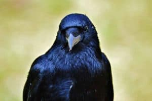 Crow looking at you with dark black eyes