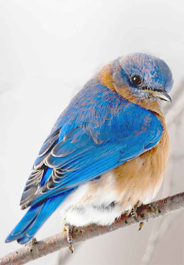 OCD illness among birds and fetherpicking (blue bird eastern)