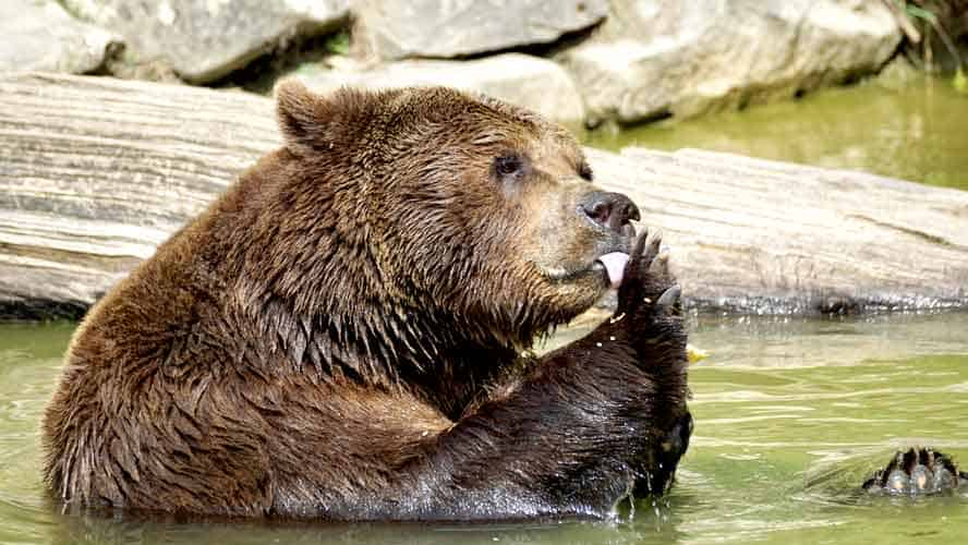 Bear eating fish in water