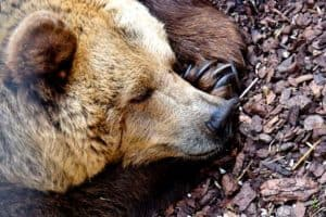 Brown bear hibernating through winter