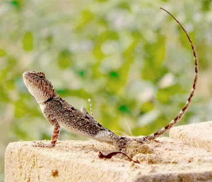 Gecko with long tail