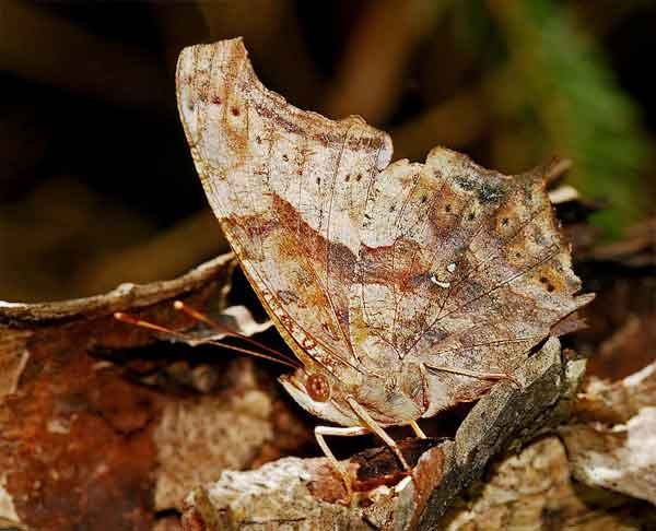 Butterfly with camouflaging capabilities hiding on a stick