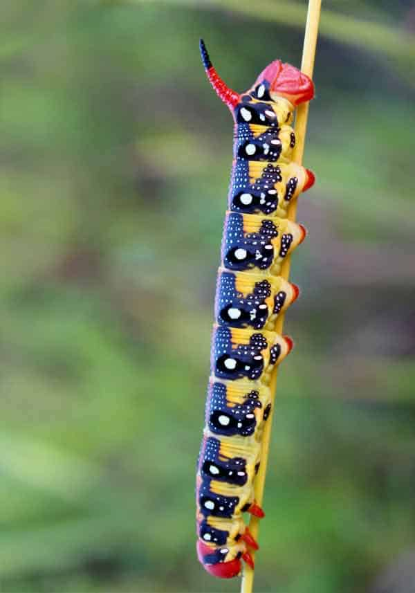 Caterpillar camouflaging itself on a stick in the rainforest