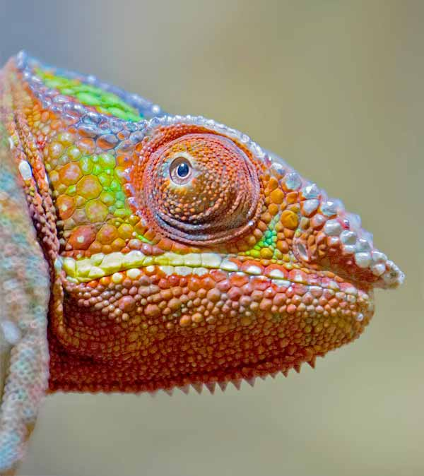 The many colors of the Chameleon's skin and eyes