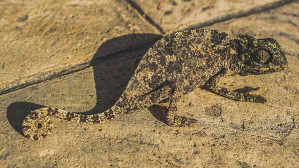 Chameleon being 100% camouflaged on the ground