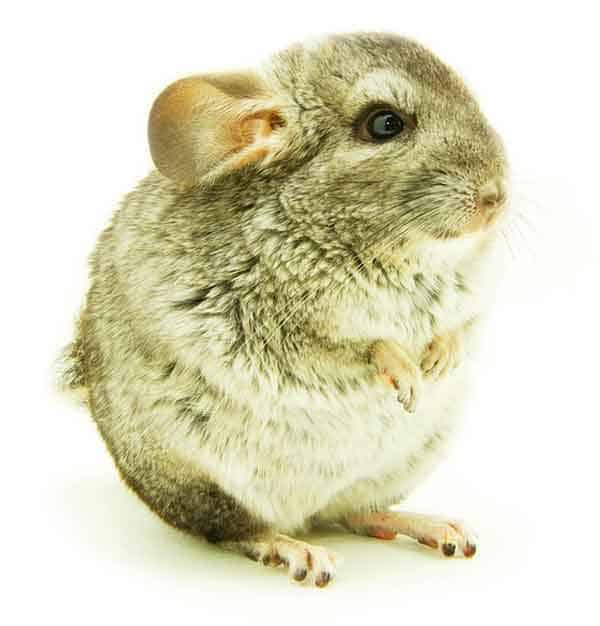 Full grown chinchilla with big ears and darker fur