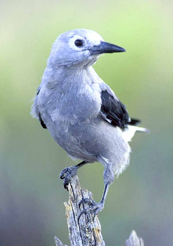 Clarks Nutcracker can remember 20,000 places!