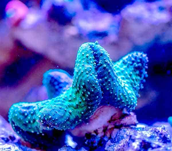 Blue and Green coral animal