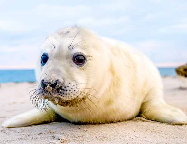 Cute Baby Seal with big dark eyes laying on the beach