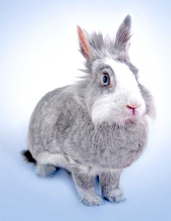 Rabbits do not have vocal cords and are mostly completely quiet