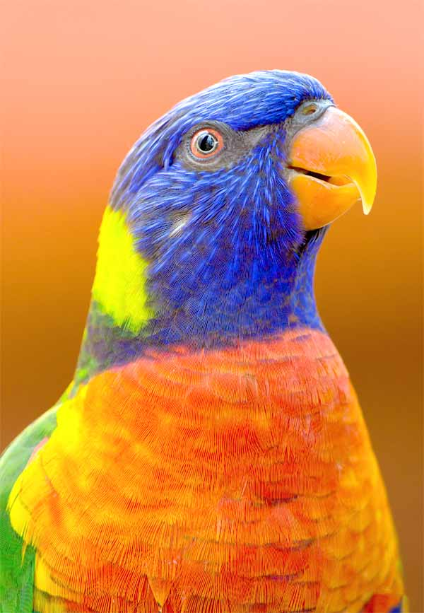 Parrots can become very loyal due to their long lifetime