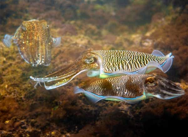 Several Cuttlefish matching a red and yellow environment