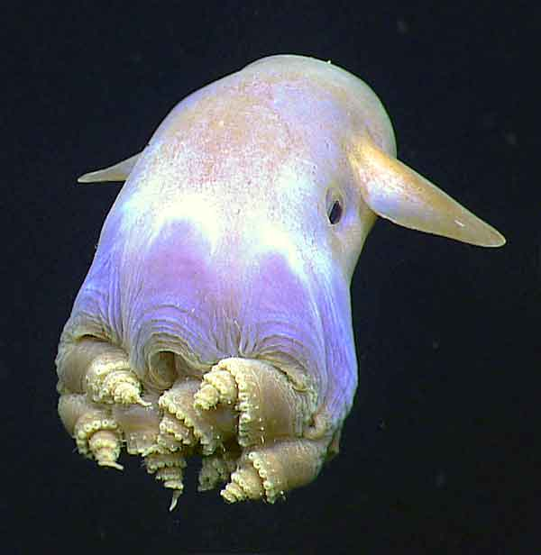 Dumbo Octopus called Grimpoteuthis