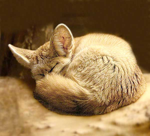 Fennec Fox sleeping during the day and being nocturnal