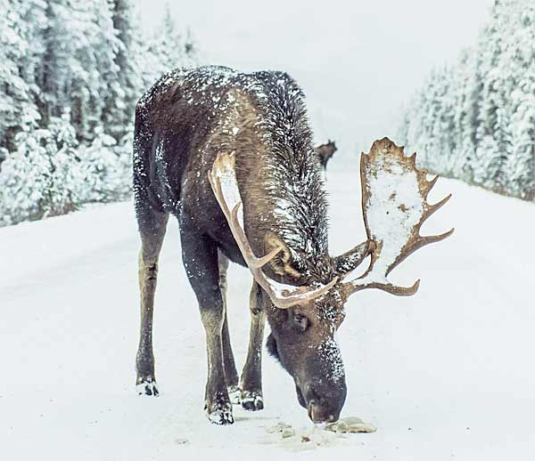 Giant Moose standing on the road in Norway with huge antlers