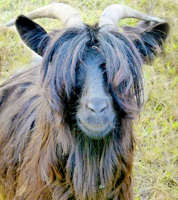 goat with really long hair