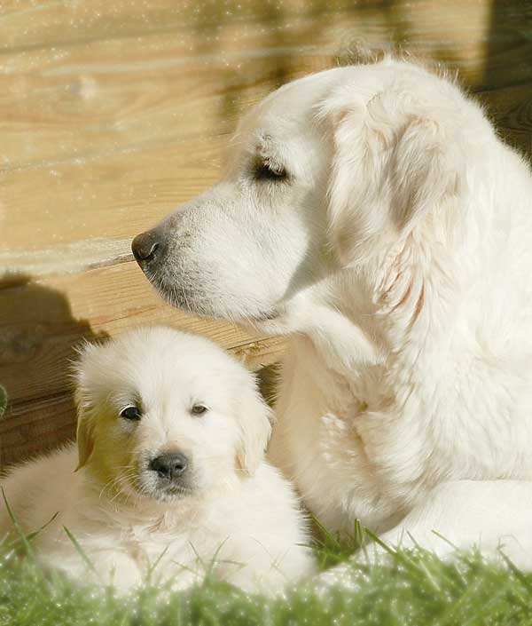 Golden Retriever mum with puppy