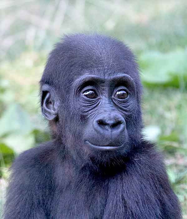 Image of: Oliver Hellowell Gorilla Baby With Downs Syndrome Looking Cute Animalhowcom Animals Mental Diseases Info About Dogs Cats Birds Tips