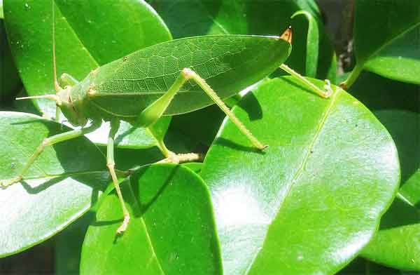 Grashopper being invisible on leaves