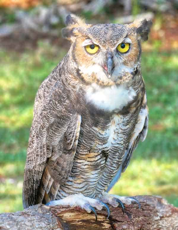 Great Horned Owl sitting on a tree