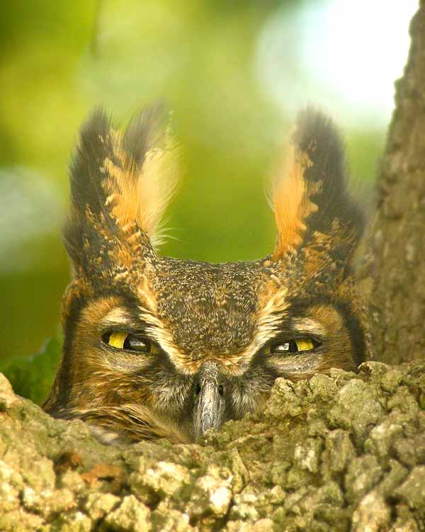 Great horned owl hiding on a tree