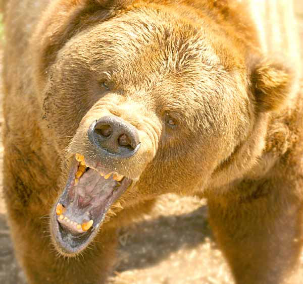 Deadly Grizzly bear ready to attack a prey