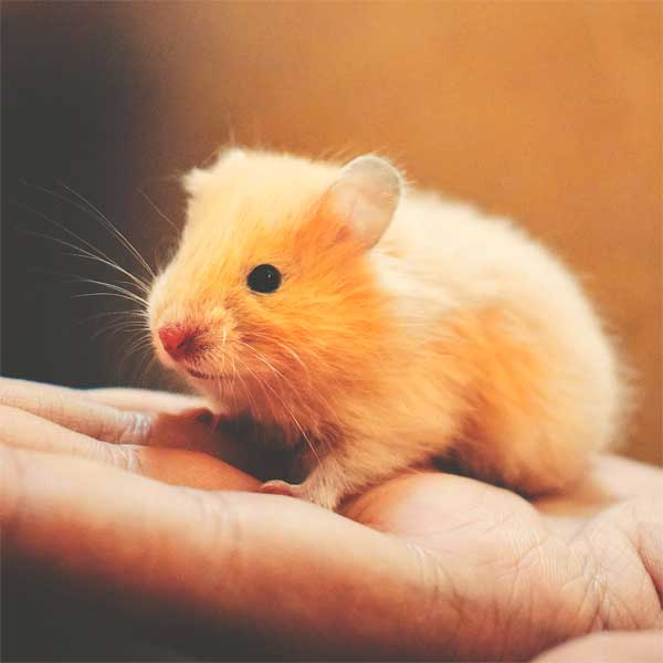yellow pet hamster in hand nocturnal