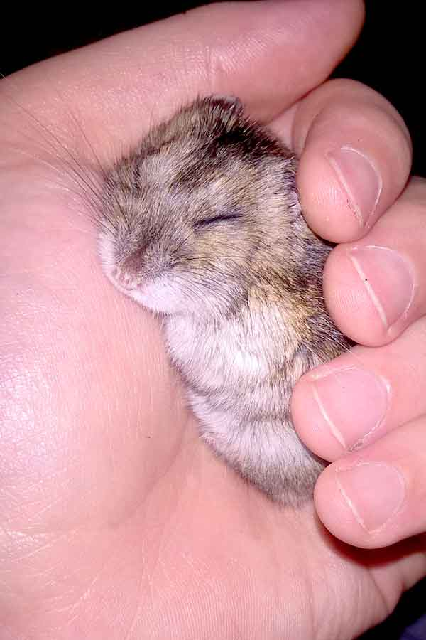 Tiny baby pet hamster in owners hand