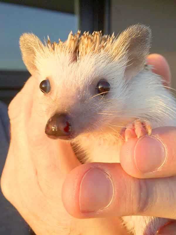 Baby hedgehog. Young and cute with big eyes