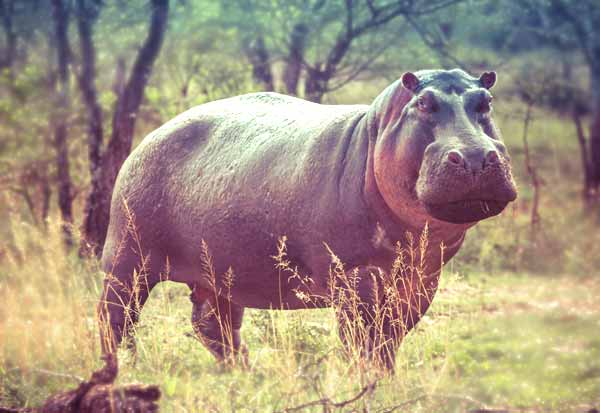 Hippos are Alpha Predators with no natural enemies