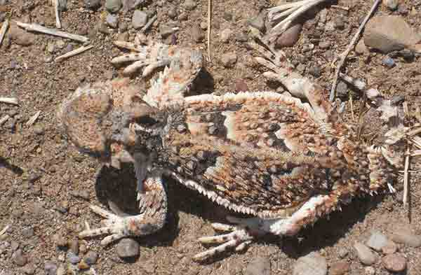 Horned toad invisible on ground with camouflaging colors
