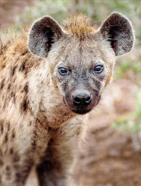 Hyenas in the desert areas of Africa