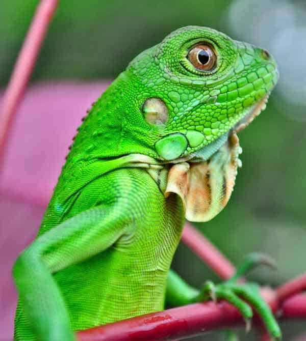 Iguana hiding between green leaves with same color as the skin